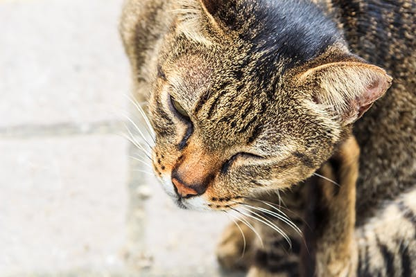 Itchiness in Cats