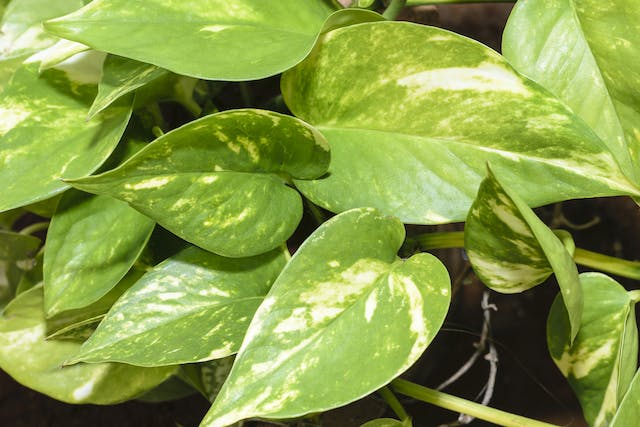 Ivy Arum Poisoning in Cats - Symptoms, Causes, Diagnosis, Treatment, Recovery, Management, Cost