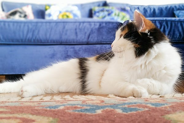 Joint Cartilage Erosion in Cats