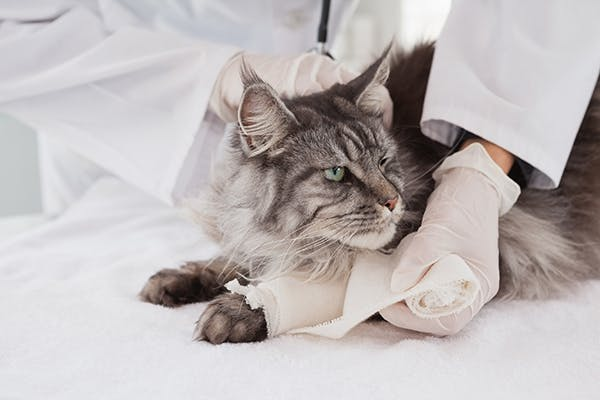 Joint Dislocation in Cats - Symptoms, Causes, Diagnosis, Treatment, Recovery, Management, Cost