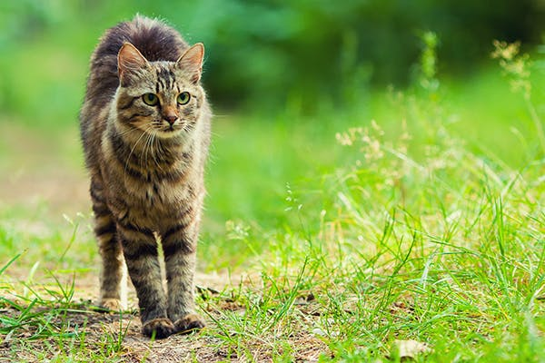 Joint Disorders in Cats - Symptoms, Causes, Diagnosis, Treatment, Recovery, Management, Cost