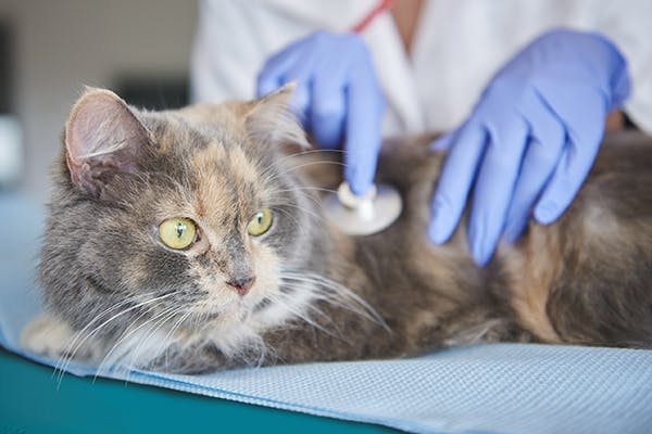 Key-Gaskell Syndrome in Cats - Symptoms, Causes, Diagnosis, Treatment, Recovery, Management, Cost
