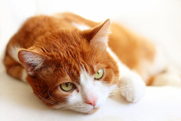 Kidney Enlargement In Cats Symptoms Causes Diagnosis Treatment Recovery Management Cost