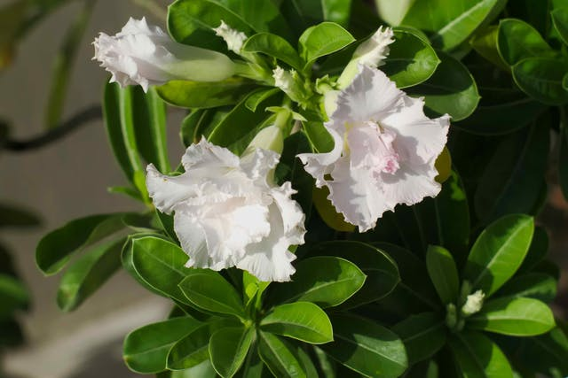 Kudu Lily Poisoning in Cats - Symptoms, Causes, Diagnosis, Treatment, Recovery, Management, Cost