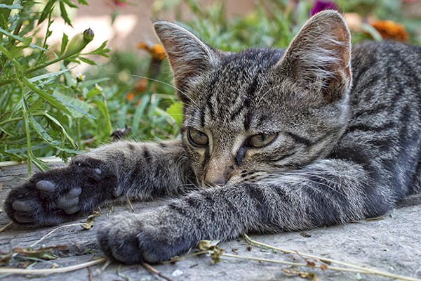 L-Carnitine Deficiency in Cats