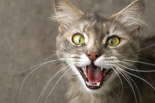 Laryngeal Disease in Cats - Symptoms, Causes, Diagnosis, Treatment, Recovery, Management, Cost