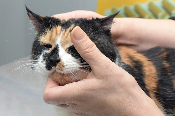Larynx and Trachea Tumor in Cats - Symptoms, Causes, Diagnosis, Treatment, Recovery, Management, Cost
