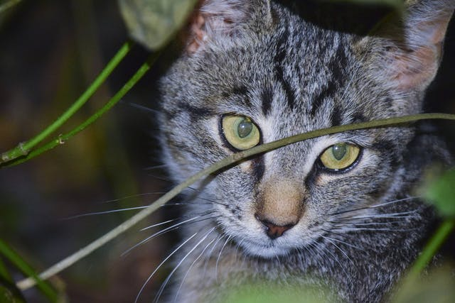 Laser Therapy in Cats - Conditions Treated, Procedure, Efficacy, Recovery, Cost, Considerations, Prevention