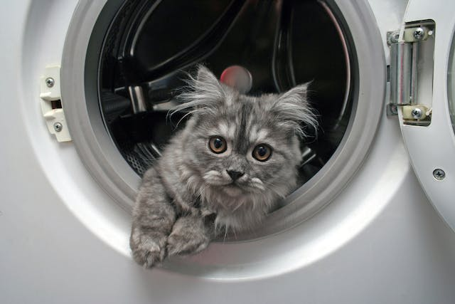 Laundry Detergent Allergy in Cats - Symptoms, Causes, Diagnosis, Treatment, Recovery, Management, Cost