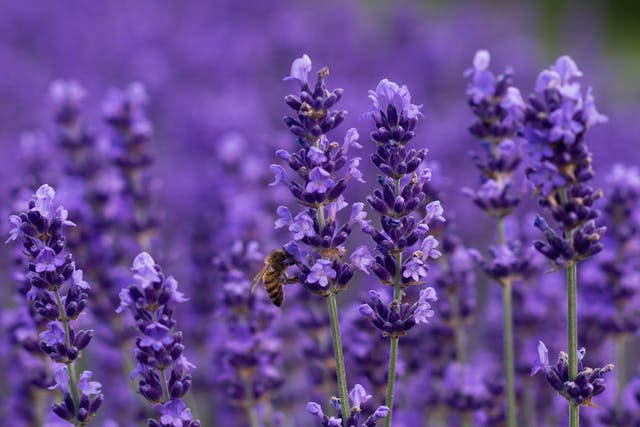 Lavender Allergy in Cats - Symptoms, Causes, Diagnosis, Treatment, Recovery, Management, Cost