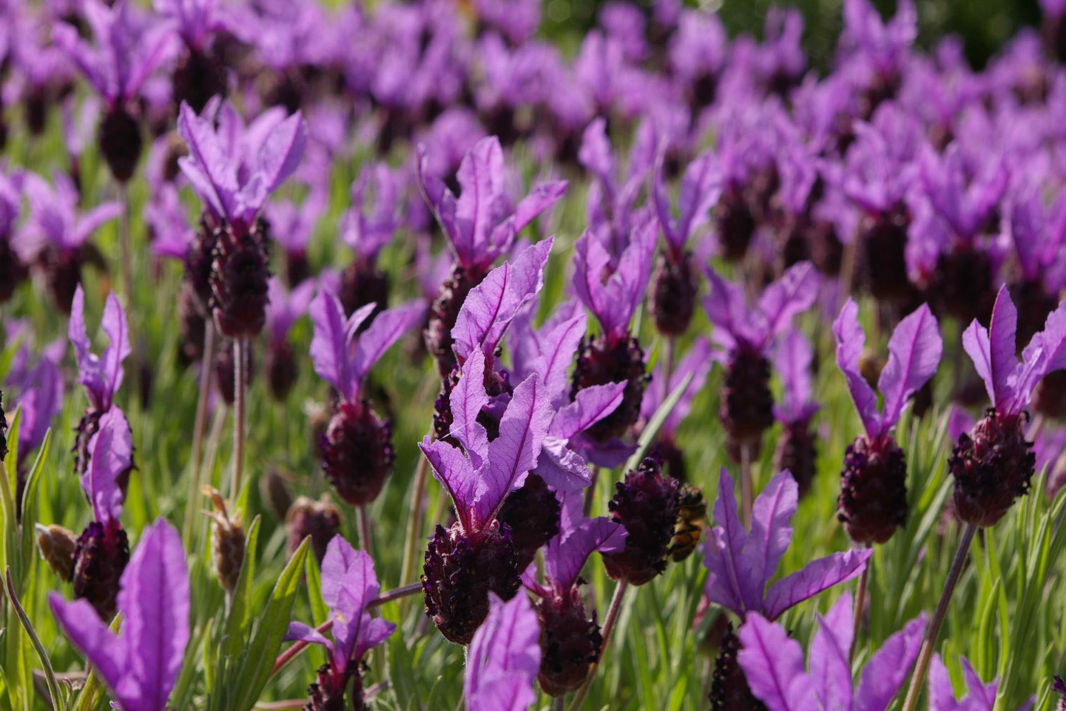 Lavender Poisoning in Cats