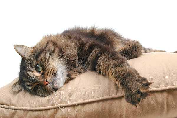 Leg Paralysis in Cats - Symptoms, Causes, Diagnosis, Treatment
