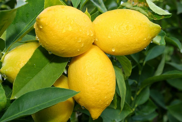 Lemon Poisoning in Cats - Symptoms, Causes, Diagnosis, Treatment, Recovery, Management, Cost