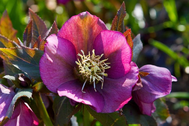 Lenten Rose Poisoning in Cats - Symptoms, Causes, Diagnosis, Treatment, Recovery, Management, Cost