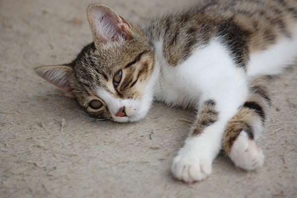 Ligament and Tendon Conditions in Cats