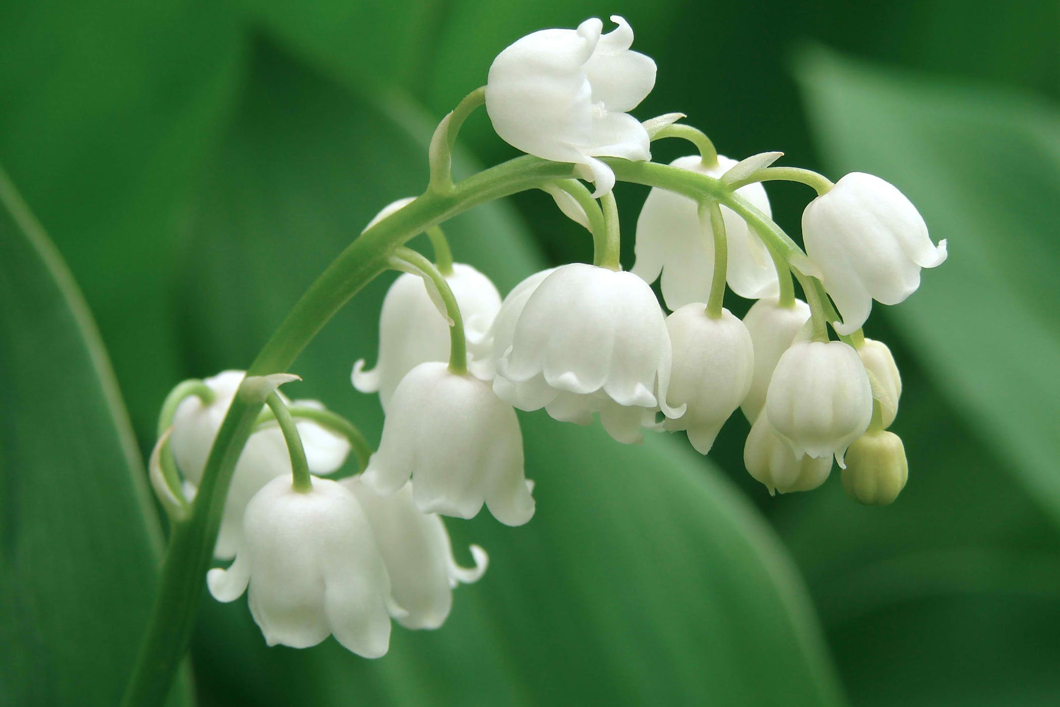 Lily of the Valley Bush Poisoning in Cats