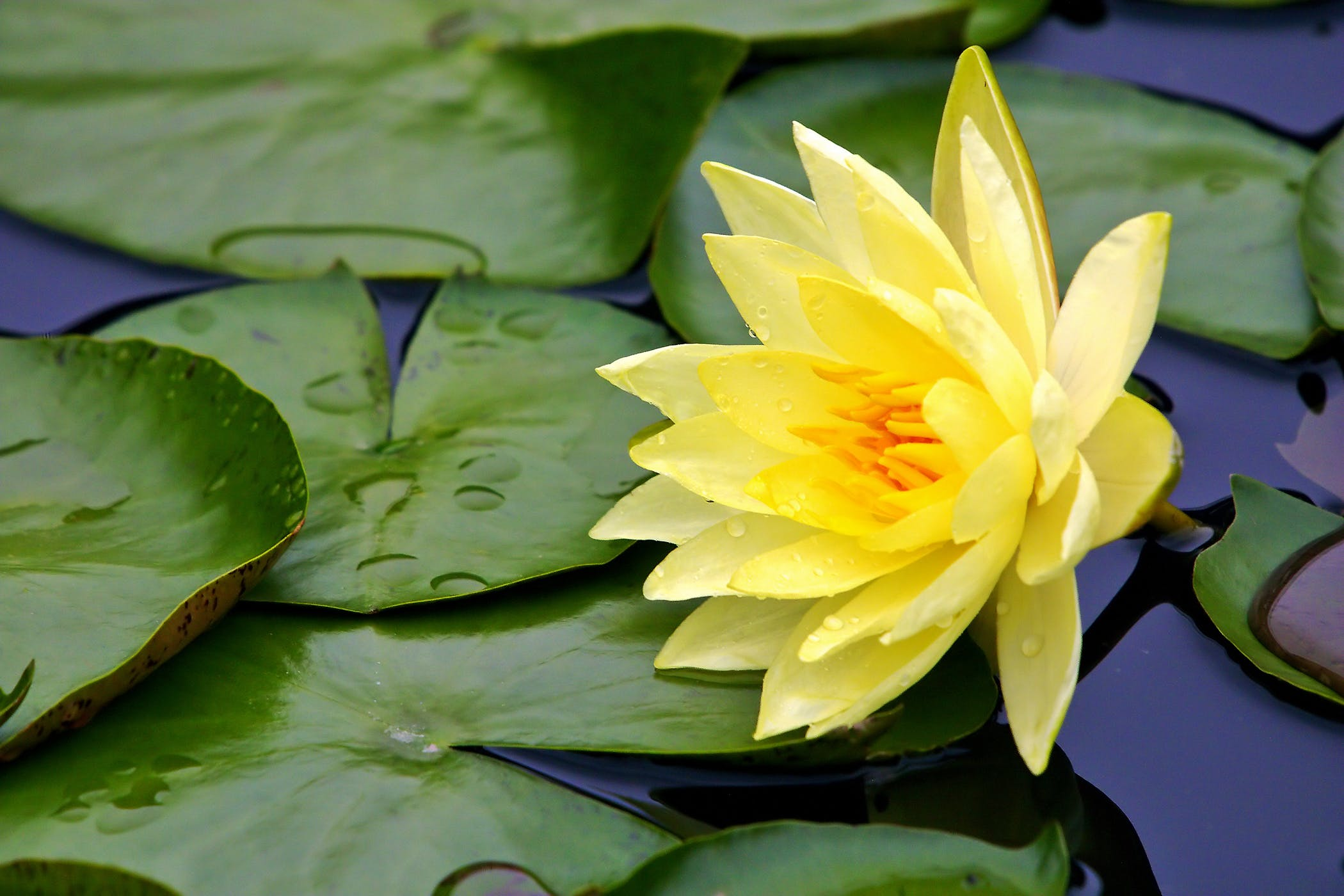 Lily Poisoning in Cats - Symptoms, Causes, Diagnosis ... Lily Poison