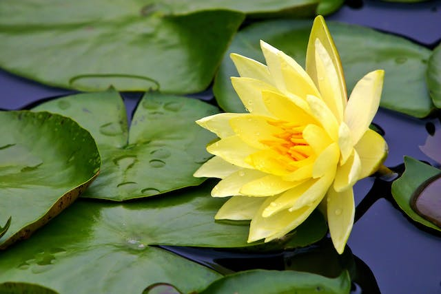 Lily Poisoning in Cats - Symptoms, Causes, Diagnosis, Treatment, Recovery, Management, Cost
