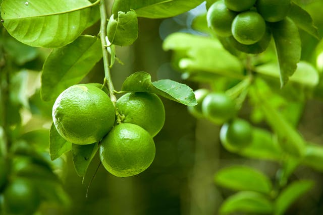 Lime Poisoning in Cats - Symptoms, Causes, Diagnosis, Treatment, Recovery, Management, Cost