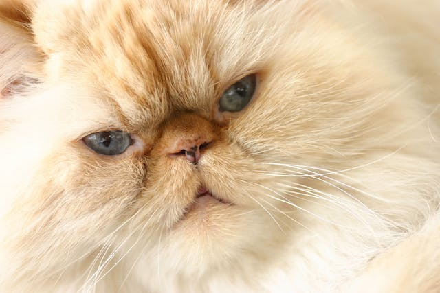 Liver Related Clotting Deficiencies in Cats - Symptoms, Causes, Diagnosis, Treatment, Recovery, Management, Cost