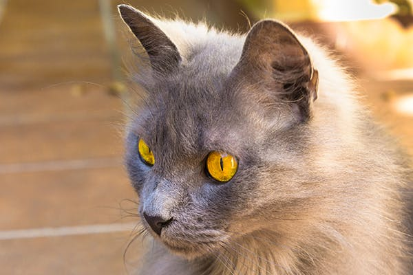 Liver and Spleen Cancer in Cats - Symptoms, Causes, Diagnosis, Treatment, Recovery, Management, Cost