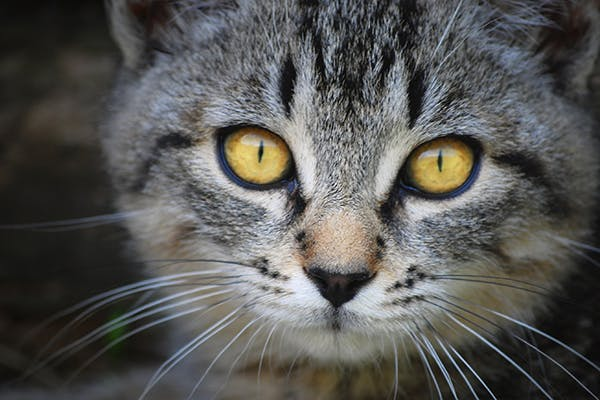 Liver Tumor in Cats - Symptoms, Causes, Diagnosis, Treatment, Recovery, Management, Cost