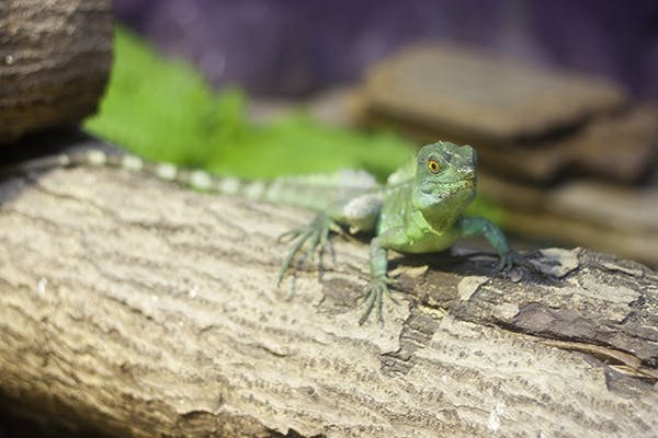 Lizard Bite Poisoning in Cats - Symptoms, Causes, Diagnosis, Treatment, Recovery, Management, Cost
