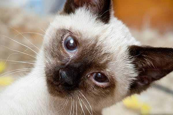 Loss Of Balance In Cats Symptoms Causes Diagnosis Treatment Recovery Management Cost
