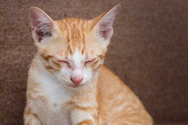 Low Blood Sugar in Cats - Symptoms, Causes, Diagnosis, Treatment, Recovery, Management, Cost