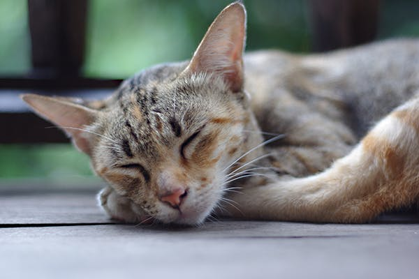 Low Platelet Count in Cats - Symptoms, Causes, Diagnosis