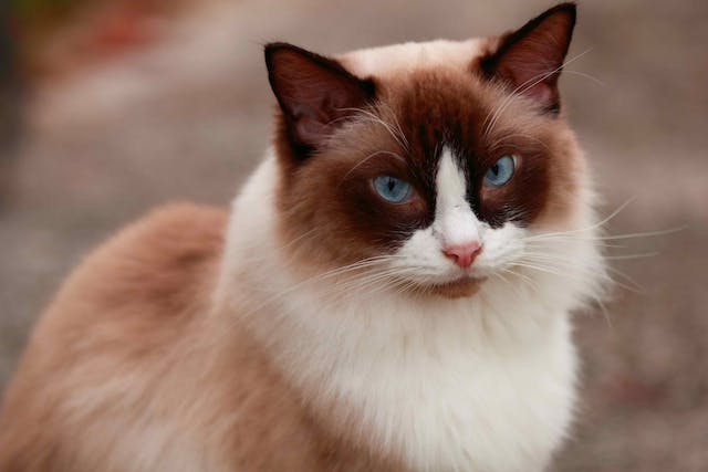 Low White Blood Cell Count in Cats - Symptoms, Causes, Diagnosis, Treatment, Recovery, Management, Cost