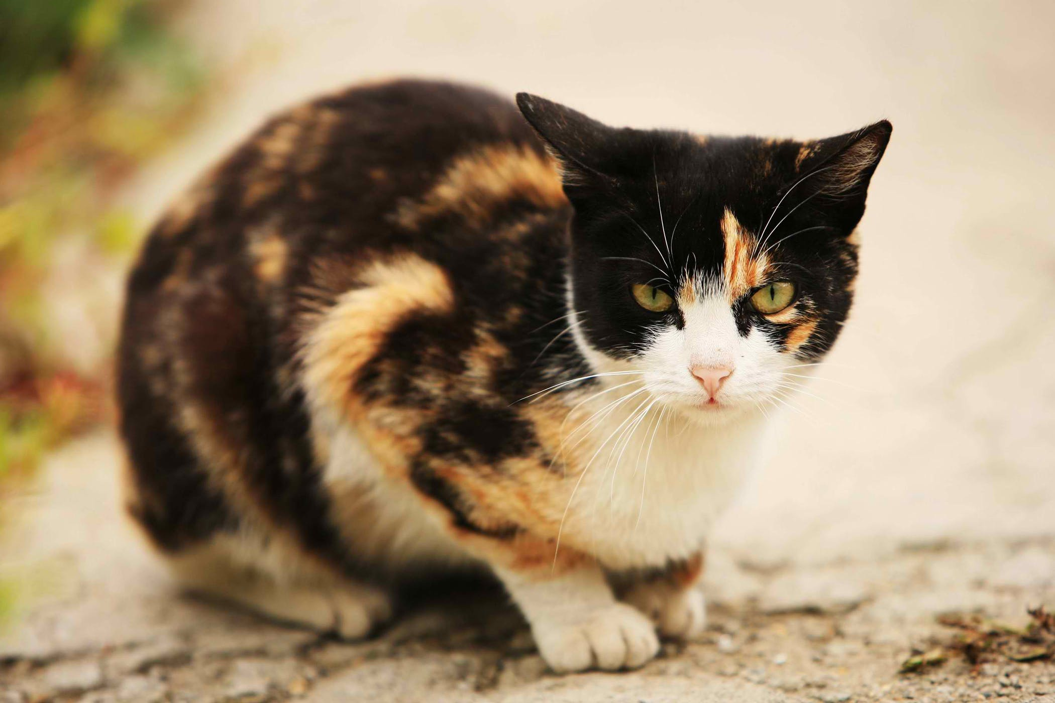 Lung Cancer (Squamous Cell Carcinoma) in Cats