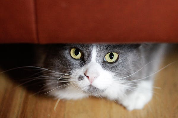 Lung Cancer in Cats - Symptoms, Causes, Diagnosis, Treatment, Recovery, Management, Cost