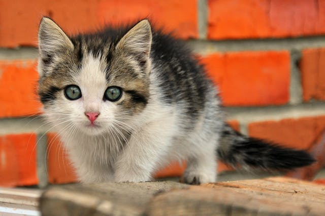 Lymphadenitis in Cats - Symptoms, Causes, Diagnosis, Treatment, Recovery, Management, Cost