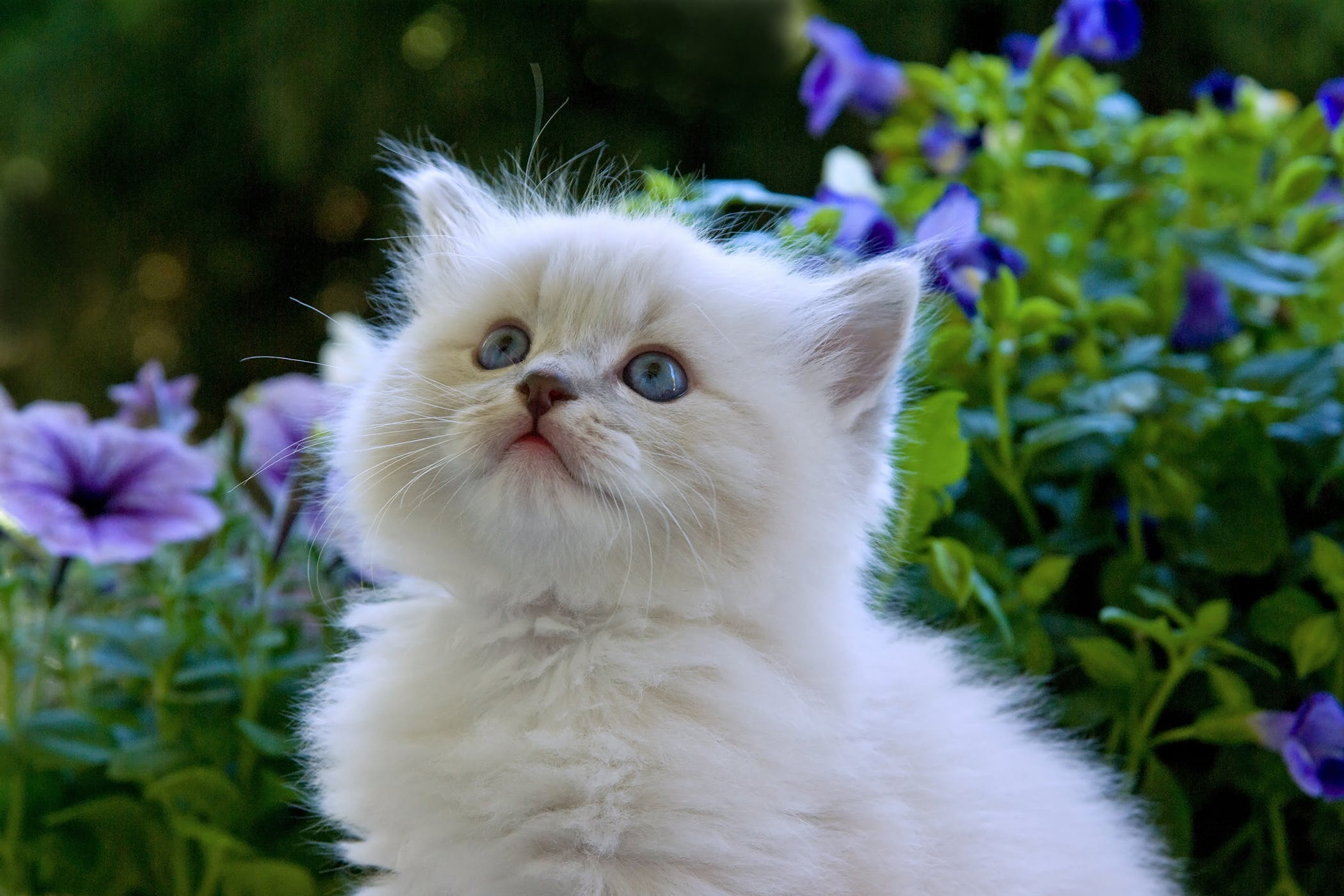 Lymphadenopathy in Cats - Symptoms, Causes, Diagnosis