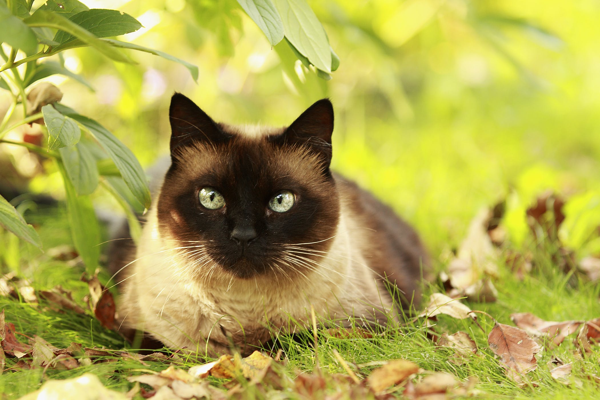 Lysine Allergy in Cats - Symptoms, Causes, Diagnosis, Treatment, Recovery, Management, Cost