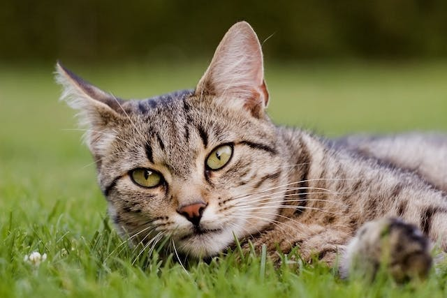 Lysol Allergy and Adverse Reaction in Cats - Symptoms, Causes, Diagnosis, Treatment, Recovery, Management, Cost