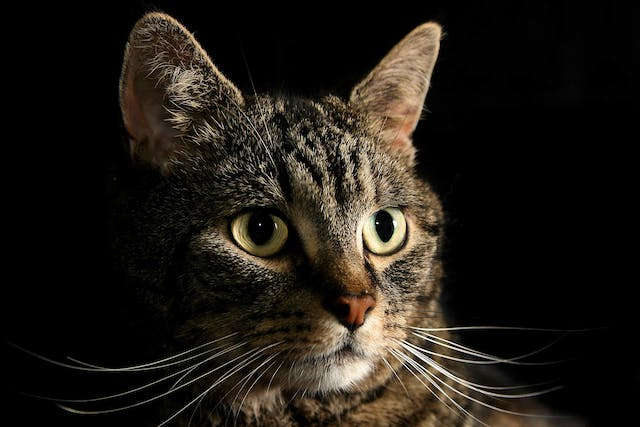 Magnesium Deficiency in Cats - Symptoms, Causes, Diagnosis, Treatment, Recovery, Management, Cost