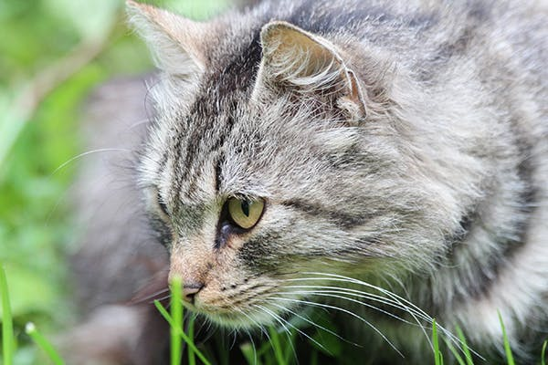 Malabsorption in Cats - Symptoms, Causes, Diagnosis, Treatment, Recovery, Management, Cost