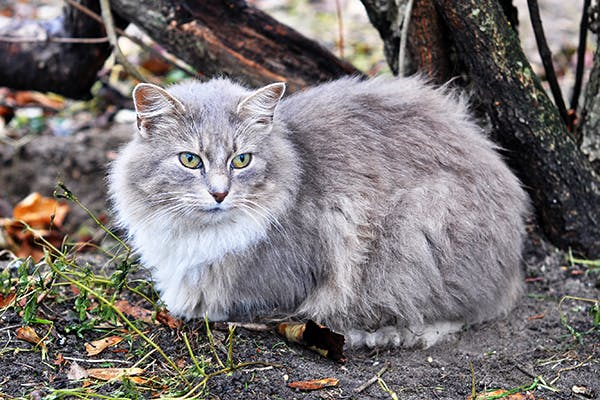 Malignant Melanoma in Cats - Symptoms, Causes, Diagnosis, Treatment, Recovery, Management, Cost