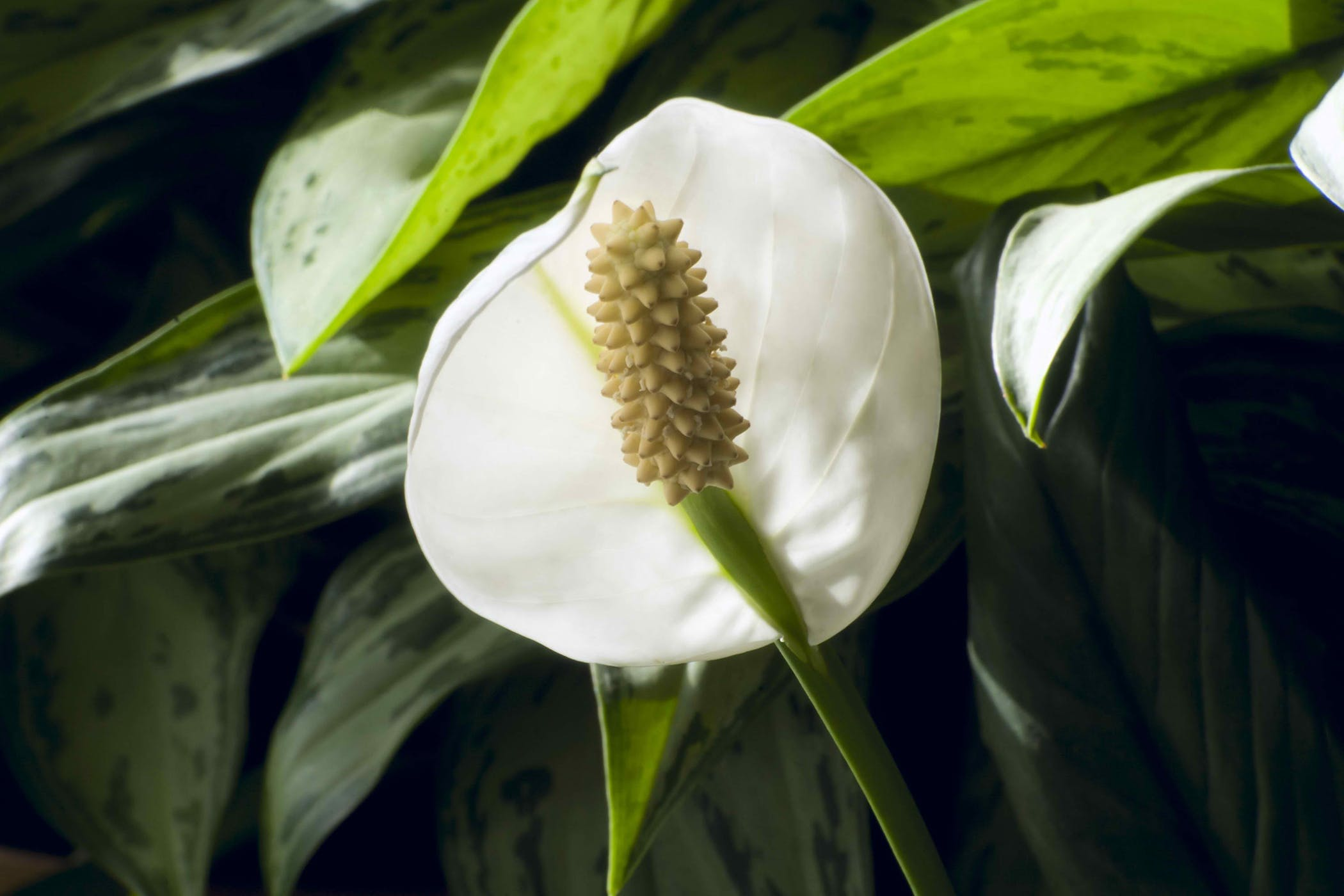 Mauna Loa Peace Lily Poisoning In Cats Symptoms Causes Diagnosis