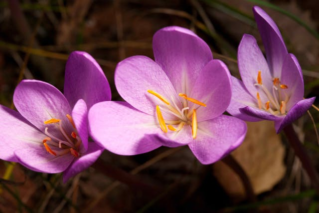 Meadow Saffron Poisoning in Cats - Symptoms, Causes, Diagnosis, Treatment, Recovery, Management, Cost