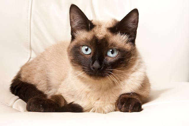 Megaloblastic Anemia in Cats - Symptoms, Causes, Diagnosis, Treatment, Recovery, Management, Cost