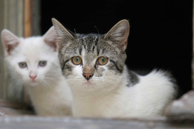 Meningomyelitis in Cats - Symptoms, Causes, Diagnosis, Treatment, Recovery, Management, Cost