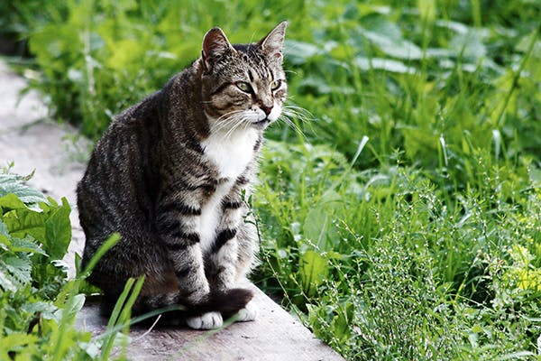 Mesothelioma in Cats - Symptoms, Causes, Diagnosis, Treatment, Recovery, Management, Cost