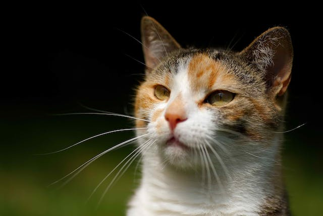 Metabolic Anemia in Cats - Symptoms, Causes, Diagnosis, Treatment, Recovery, Management, Cost
