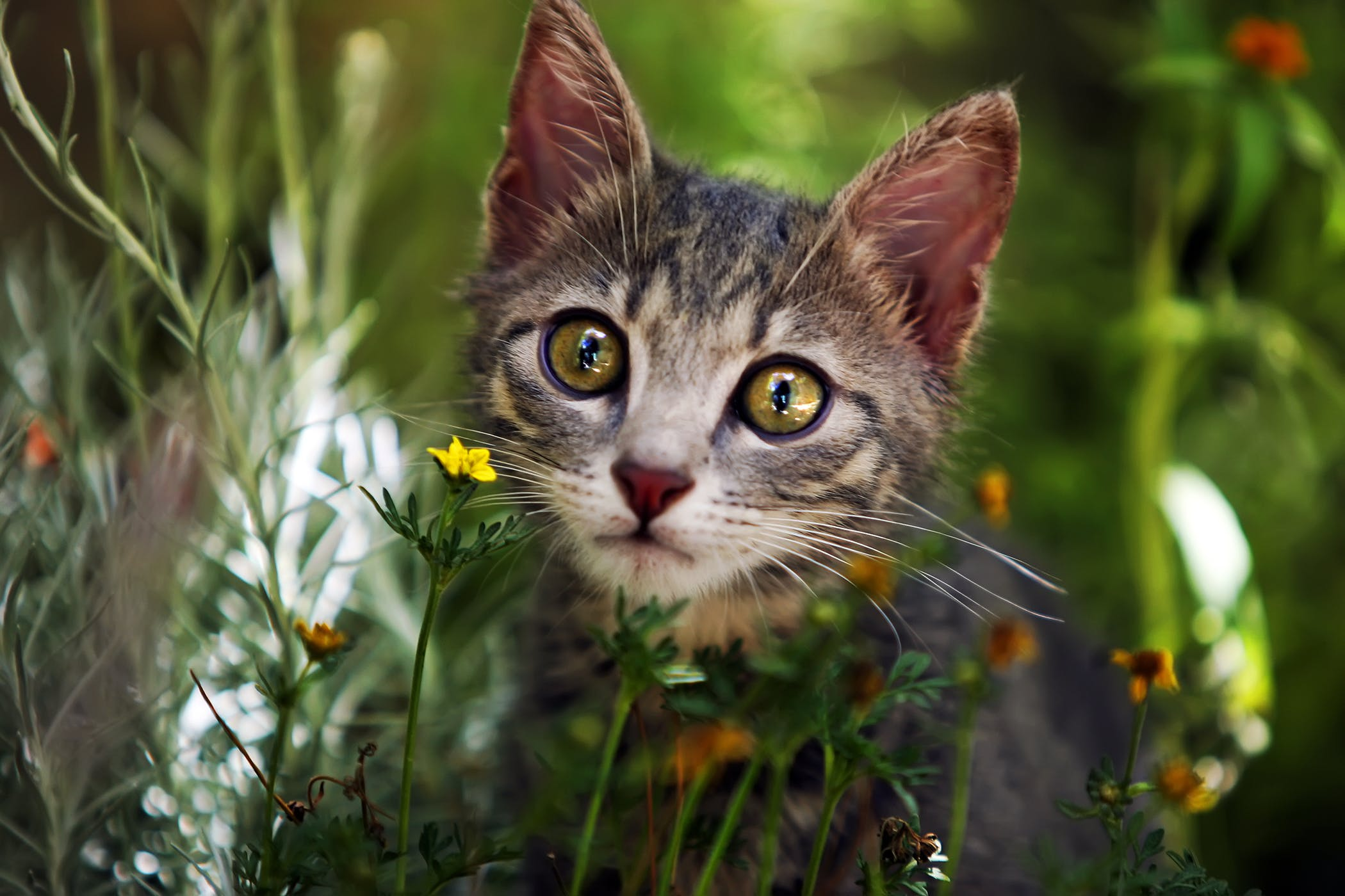 Methimazole Allergy In Cats Symptoms Causes Diagnosis