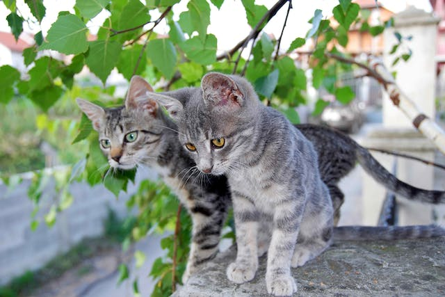 Microsporidiosis Encephalitozoonosis in Cats - Symptoms, Causes, Diagnosis, Treatment, Recovery, Management, Cost