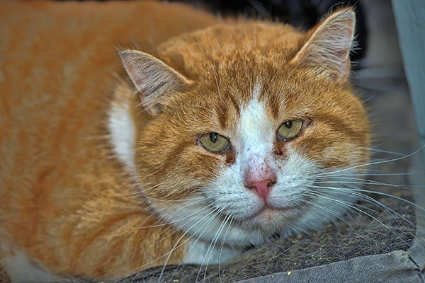 Mid-Chest Inflammation in Cats - Symptoms, Causes, Diagnosis, Treatment, Recovery, Management, Cost