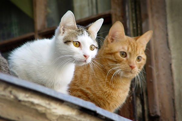 Miscarriage in Cats - Symptoms, Causes, Diagnosis, Treatment, Recovery, Management, Cost